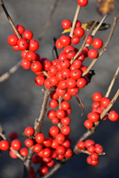 Berry Poppins® Winterberry (Ilex verticillata 'FARROWBPOP') at The Growing Place