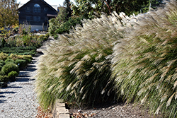 Gracillimus Maiden Grass (Miscanthus sinensis 'Gracillimus') at The Growing Place