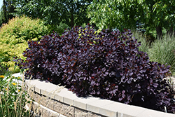 Royal Purple Smokebush (Cotinus coggygria 'Royal Purple') at The Growing Place