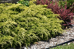 Gold Lace Juniper (Juniperus x media 'Gold Lace') at The Growing Place