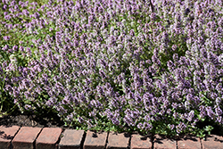 English Thyme; Common Thyme (Thymus vulgaris) at The Growing Place