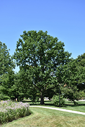 Chinkapin Oak (Quercus muehlenbergii) at The Growing Place