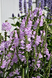 Pink Manners Obedient Plant (Physostegia virginiana 'Pink Manners') at The Growing Place