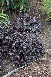 Black Pearl Coral Bells (Heuchera 'Black Pearl') at The Growing Place