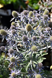 Blue Hobbit Sea Holly (Eryngium planum 'Blue Hobbit') at The Growing Place
