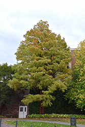 Baldcypress (Taxodium distichum) at The Growing Place