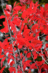 Firestarter Black Gum (Nyssa sylvatica 'JFS-red') at The Growing Place