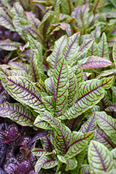 Ornamental Sorrel (Rumex sanguineus) at The Growing Place