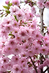 First Blush® Flowering Cherry (Prunus 'JFS-KW14') at The Growing Place
