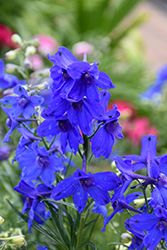 Summer Nights Delphinium (Delphinium grandiflorum 'Summer Nights') at The Growing Place