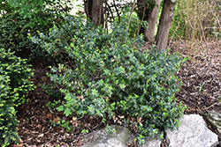 Blue Prince Meserve Holly (Ilex x meserveae 'Blue Prince') at The Growing Place