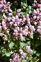 Pink Pewter Spotted Dead Nettle (Lamium maculatum 'Pink Pewter') at The Growing Place