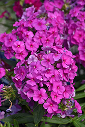 Purple Flame Garden Phlox (Phlox paniculata 'Purple Flame') at The Growing Place
