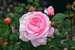 Queen Of Sweden Rose (Rosa 'Queen Of Sweden') at The Growing Place