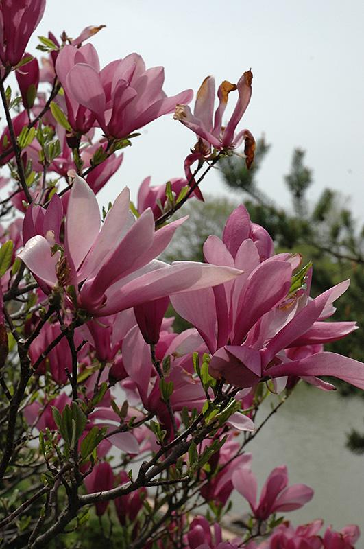 Ann Magnolia Magnolia Ann In Naperville Aurora Batavia Oswego