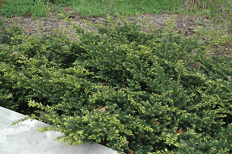 Chalet Nursery And Garden Center: Everlow Yew (Taxus X Media 'Everlow') In Naperville Aurora