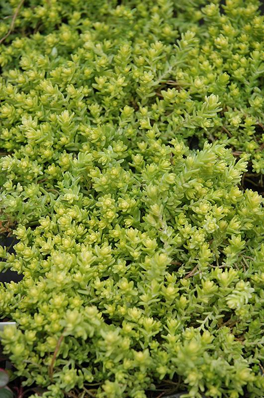 Golden Moss Stonecrop Sedum Acre Aureum At The Growing Place