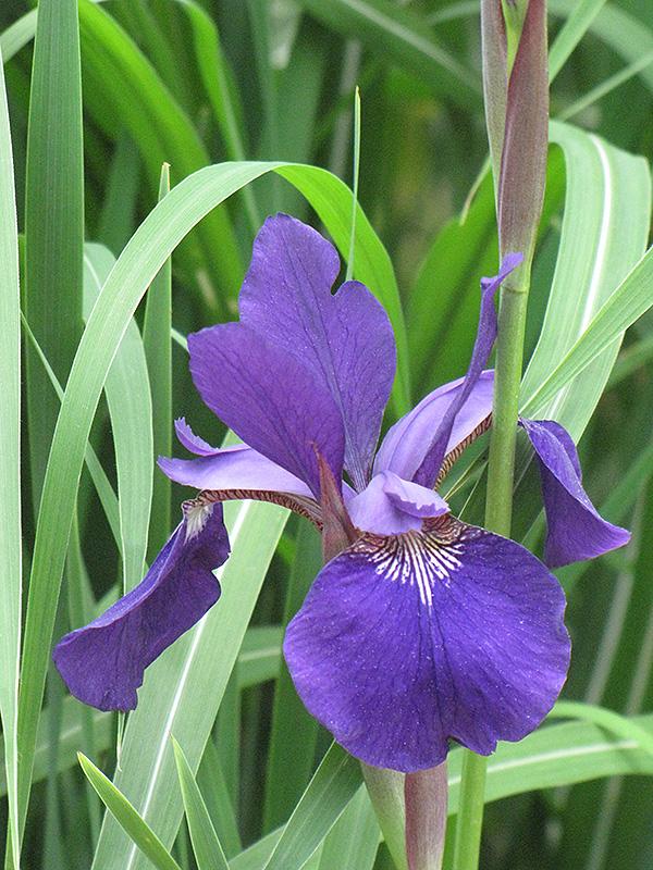 Caesars Brother Perennial \u2026 2 year divisions Siberian Iris