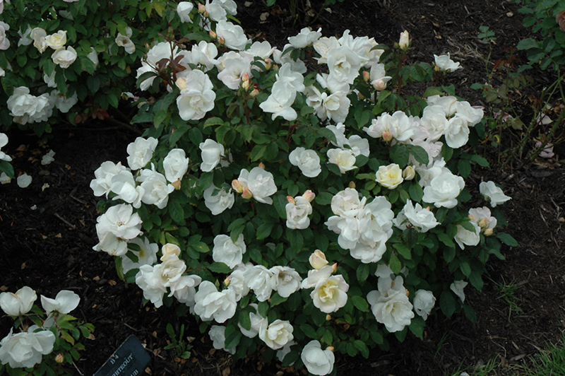 White Knock Out Rose Rosa Radwhite At The Growing Place
