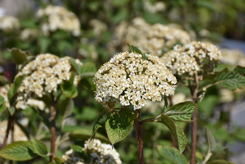 Mohican Viburnum (Viburnum lantana 'Mohican') at The Growing Place
