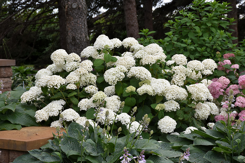 Annabelle Hydrangea Arborescens At The Growing Place