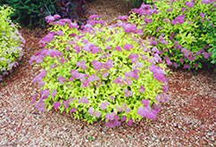 Goldmound Spirea (Spiraea japonica 'Goldmound') at The Growing Place