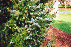 Serbian Spruce (Picea omorika) at The Growing Place