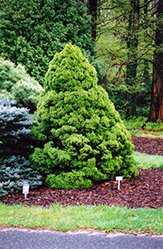 Dwarf Alberta Spruce (Picea glauca 'Conica') at The Growing Place