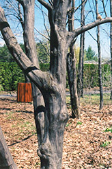 American Hornbeam (Carpinus caroliniana) at The Growing Place