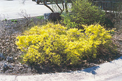 Happy Centennial Forsythia (Forsythia 'Happy Centennial') at The Growing Place