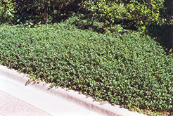 Bowles Periwinkle (Vinca minor 'Bowles') at The Growing Place