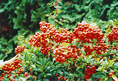 Yukon Belle Scarlet Firethorn (Pyracantha coccinea 'Yukon Belle') at The Growing Place