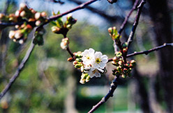 Montmorency Cherry (Prunus 'Montmorency') at The Growing Place