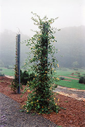 John Clayton Trumpet Honeysuckle (Lonicera sempervirens 'John Clayton') at The Growing Place