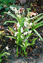 White Spring Squills (Scilla sibirica 'Alba') at The Growing Place
