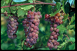 Swenson Red Grape (Vitis 'Swenson Red') at The Growing Place
