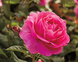 Grande Dame Rose (Rosa 'WEKmerewby') at The Growing Place