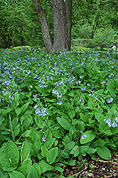 Virginia Bluebells (Mertensia virginica) at The Growing Place