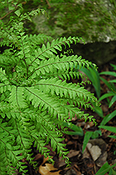 Northern Maidenhair Fern (Adiantum pedatum) at The Growing Place