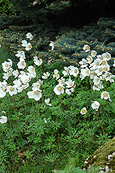 Windflower (Anemone sylvestris) at The Growing Place