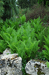 Ostrich Fern (Matteuccia struthiopteris) at The Growing Place