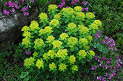 Cushion Spurge (Euphorbia polychroma) at The Growing Place