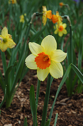 Fortissimo Daffodil (Narcissus 'Fortissimo') at The Growing Place