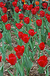 Red Present Tulip (Tulipa 'Red Present') at The Growing Place