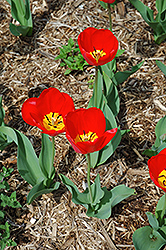 Oxford Tulip (Tulipa 'Oxford') at The Growing Place