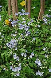 Creeping Jacob's Ladder (Polemonium reptans) at The Growing Place