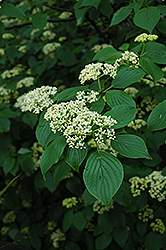 Pagoda Dogwood (Cornus alternifolia) at The Growing Place