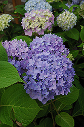 Endless Summer Hydrangea (Hydrangea macrophylla 'Endless Summer') at The Growing Place