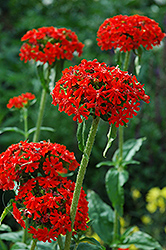 Maltese Cross (Lychnis chalcedonica) at The Growing Place