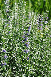 Hyssop (Hyssopus officinalis) at The Growing Place